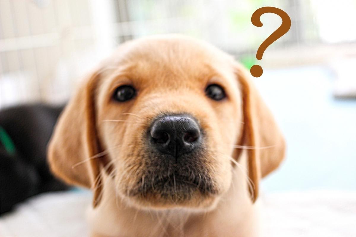 犬、ラブラドール、レトリーバー、可愛い、はてなマーク