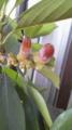 おれが5歳の頃植えたマテバシイ。実をつけた。