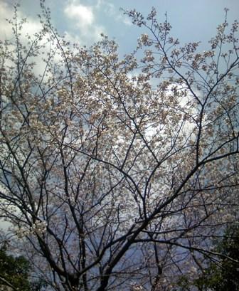 08032701桜.JPG