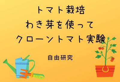 自由研究に!!わき芽でトマト栽培!!