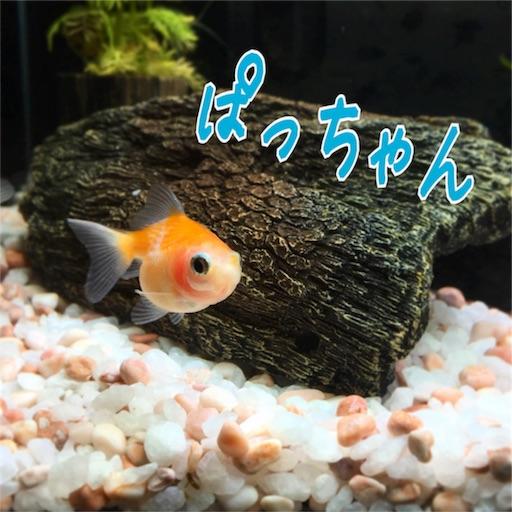 ピンポンパールの ぱっちゃん