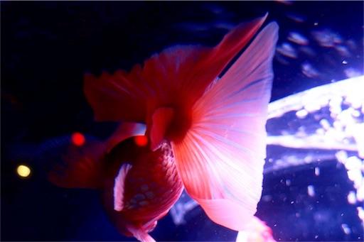 金魚の尾鰭が大好き