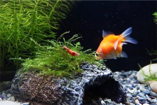 金魚と海老