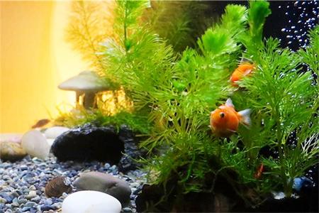 水槽全体的にとっても金魚のいい表情が撮れる