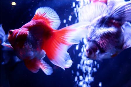 ブレたからこそ印象的に写る2匹の金魚。