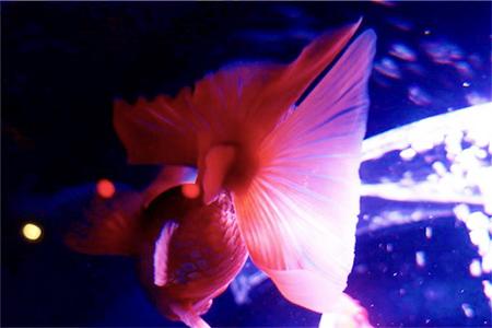 美しくて優雅な金魚の尾ひれ