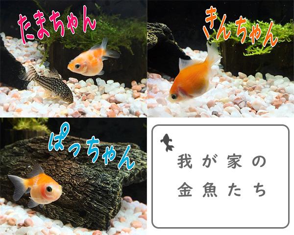 我が家の金魚(ピンポンパール)たち