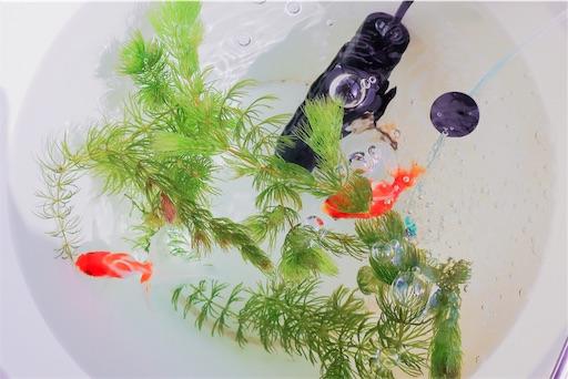 水替え中の金魚たち