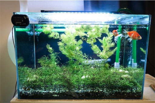 金魚・コリドラス・海老の共存水槽