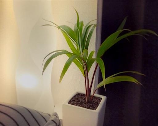 観葉植物トックリヤシがお洒落