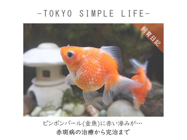 ピンポンパール(金魚)に赤い滲みが…赤斑病の治療から完治まで
