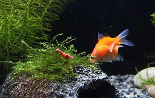 金魚と海老の混泳