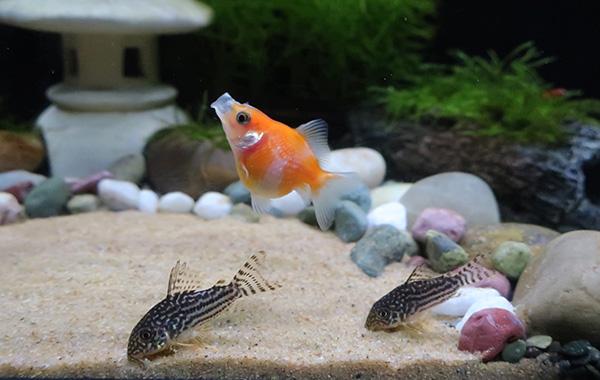 金魚とコリドラスの混泳