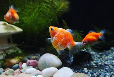 金魚(ピンポンパール)