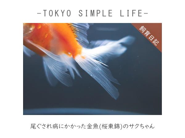 尾ぐされ病にかかった金魚(桜東錦)のサクラちゃん