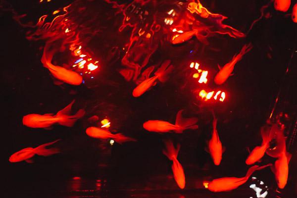 水槽の中で揺らめく金魚