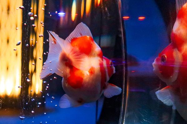 Daruma-goldfish