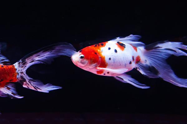 金魚ワンダーランドキャリコ柄コメット