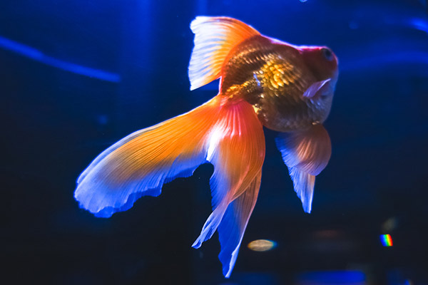 Fantail has beautiful Fin