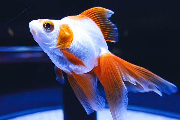 すみだ水族館金魚
