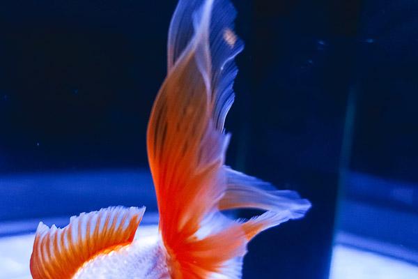 金魚ワンダーランド鰭