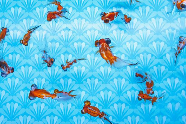 金魚ワンダーランド出目金