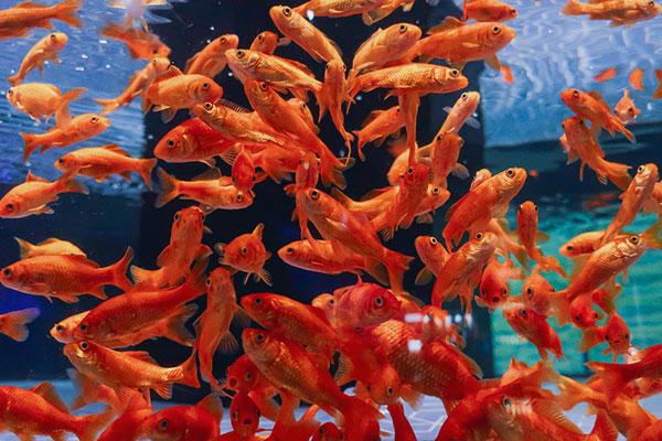 金魚ワンダーランド和金