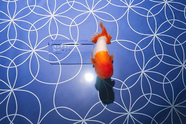 すみだ水族館金魚ワンダーランドらんちゅう