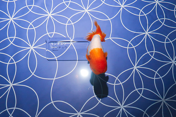 lionheadgoldfish