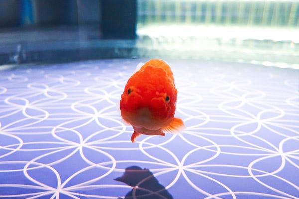金魚ワンダーランドらんちゅう