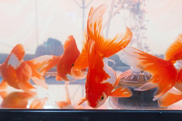 江戸川区金魚まつり金魚
