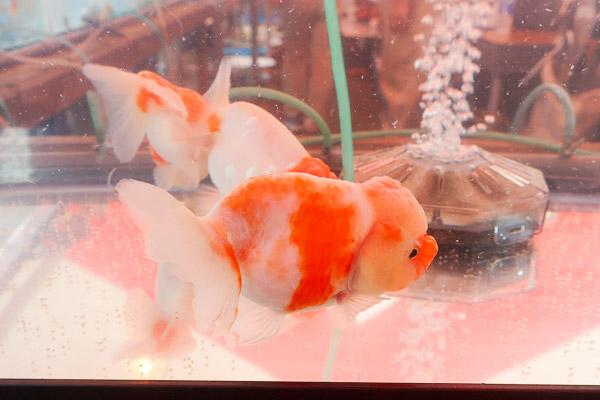 江戸川区金魚まつり特大金魚