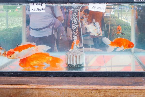 超金魚!もしくはほぼ鯉!10000~50000円