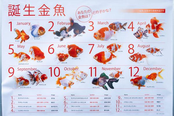江戸川区金魚まつり誕生金魚