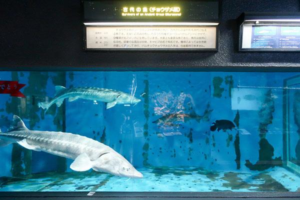 古代魚みたいなサメ!