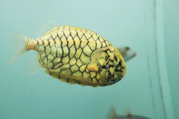 亀の甲羅みたいな魚