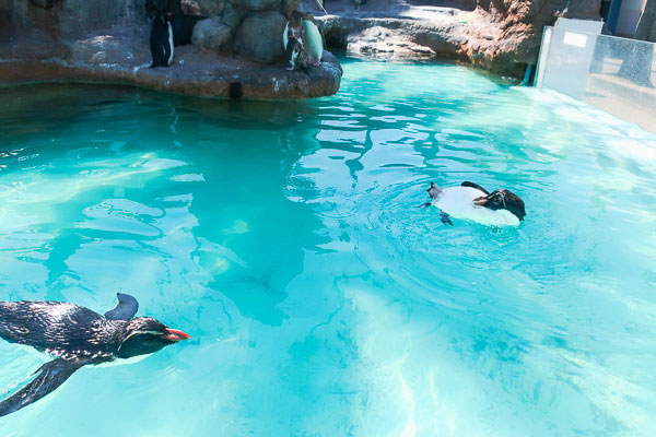 ペンギン島にはキタイワトビペンギンが気持ち良さそうに泳いでいる!