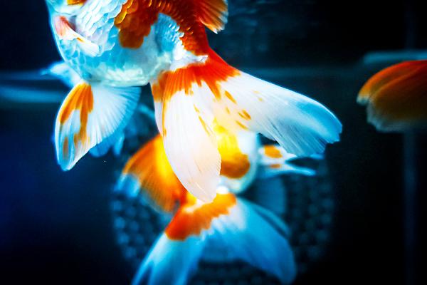 美しい金魚の鰭