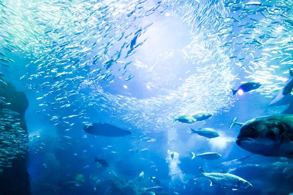 江ノ島水族館鰯ボール