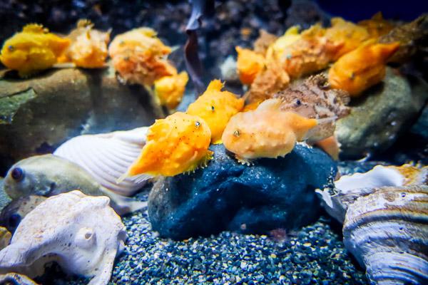 江ノ島水族館風船魚