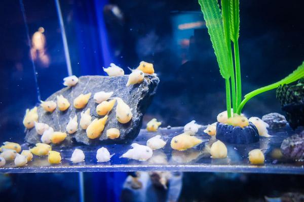 江ノ島水族館風船魚の稚魚
