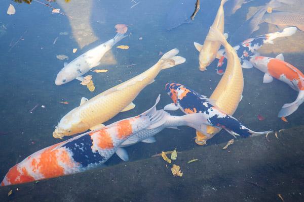 川崎大師の鯉