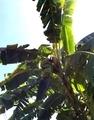 タイ バナナの木