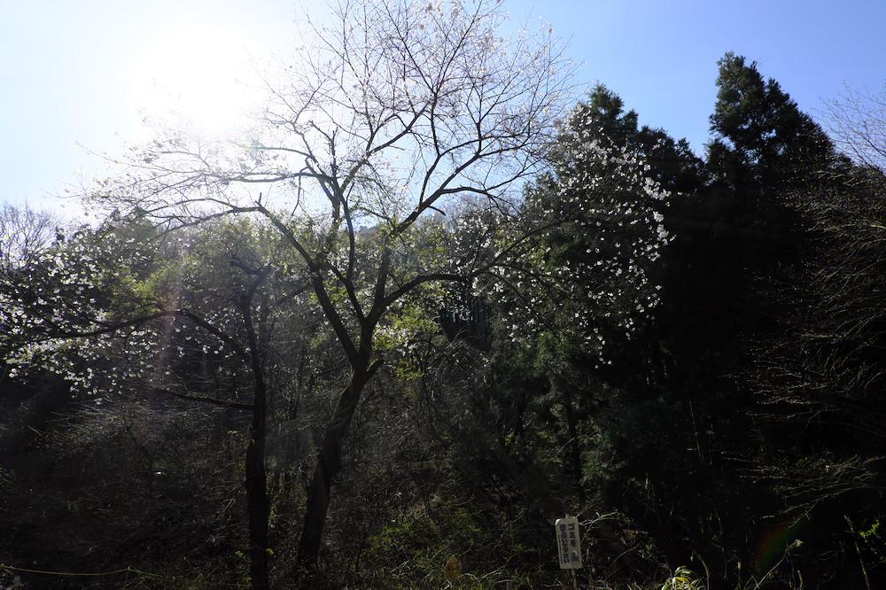 栃木県道60号「黒磯棚倉線」の桜