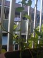 アサガオ花と蕾