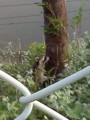 野生アライグマ01