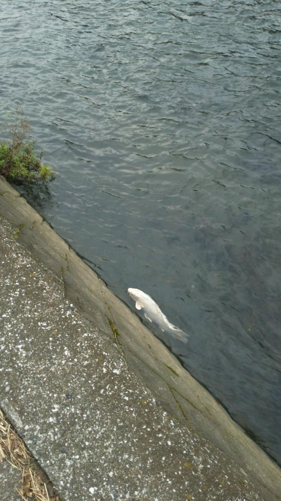 散歩中に見つけた鯉1