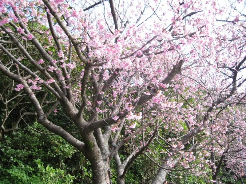 [沖縄][桜]