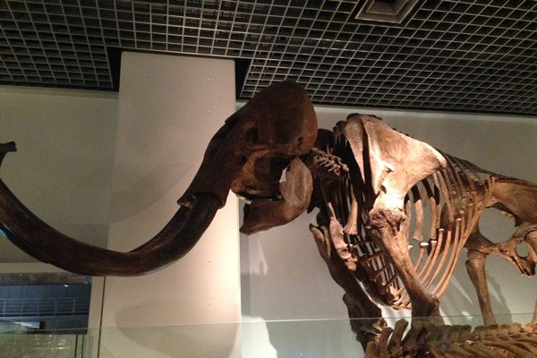マンモス 化石