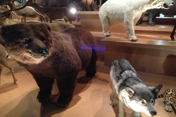 熊 オオカミ 剥製